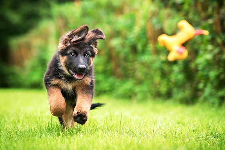 German shepherd puppy playing fetch outside