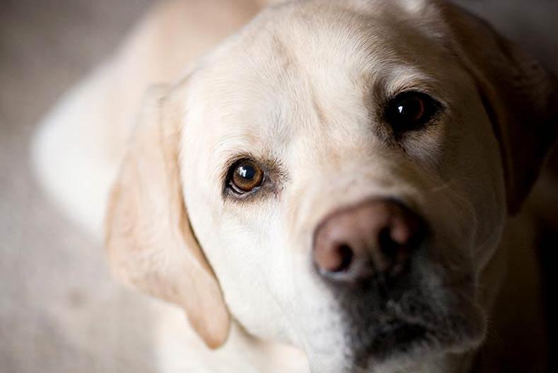 Yellow labrador retriever face close-up