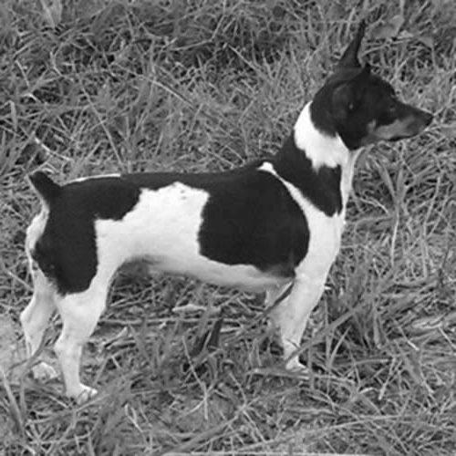 Teddy Roosevelt Terrier Dog Breed Information American