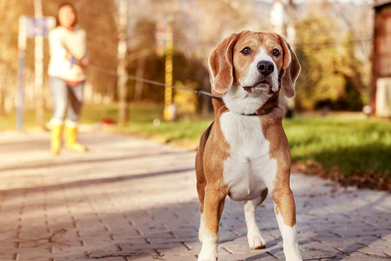 Beagle on a walk