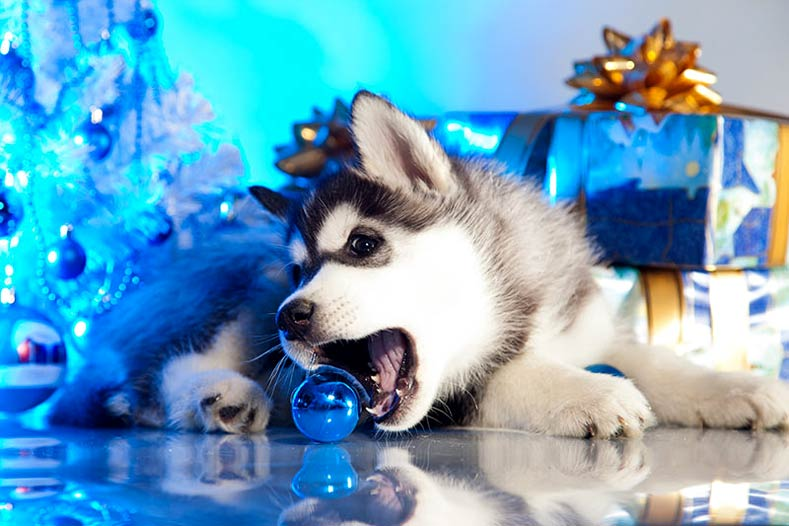 Siberian Husky Puppy playing with an ornament for the holidays
