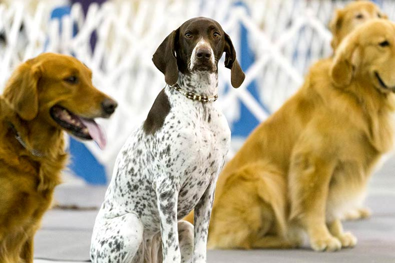 German Shorthaired Pointer and Golden Retrievers at an Obedience Trial