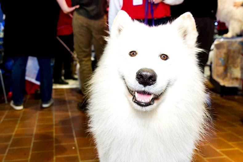 Samoyed at Meet the Breeds