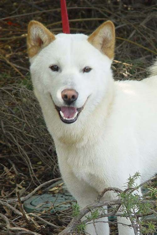 Jindo Dog Breed Information