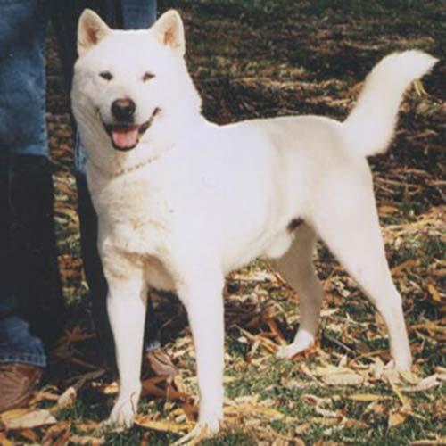 Kishu Ken Dog Breed Information American Kennel Club