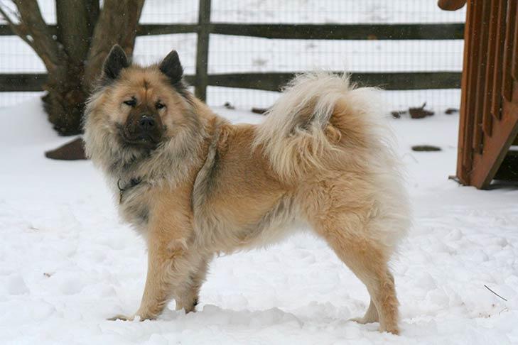 Eurasier standing in snow facing left, head turned right