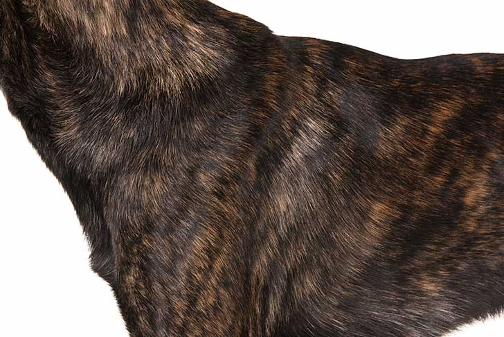 Dutch Shepherd coat detail