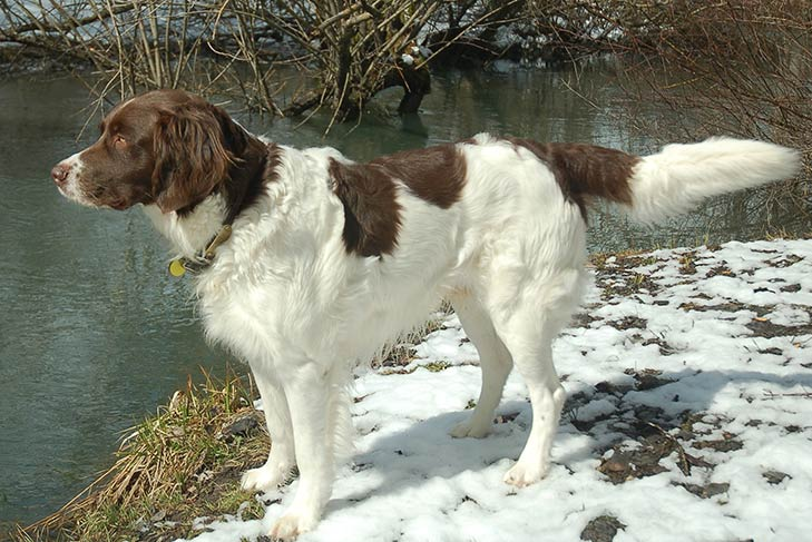 Drentsche Patrijshond standing on snow-covered grass while overlooking a river