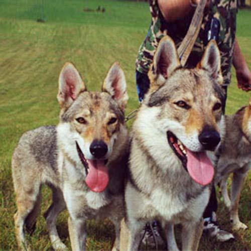 Carpathian shepherd dog