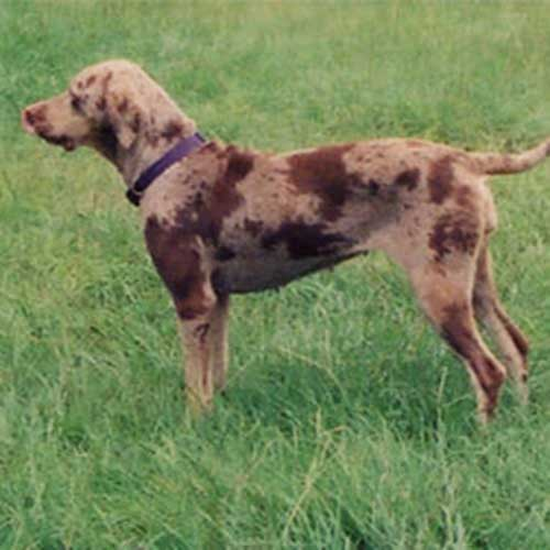 Catahoula Leopard Dog standing in grassy field
