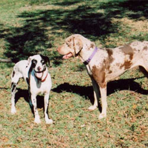Catahoula Leopard Dog adult standing next to puppy