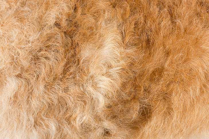 Belgian Laekenois coat detail