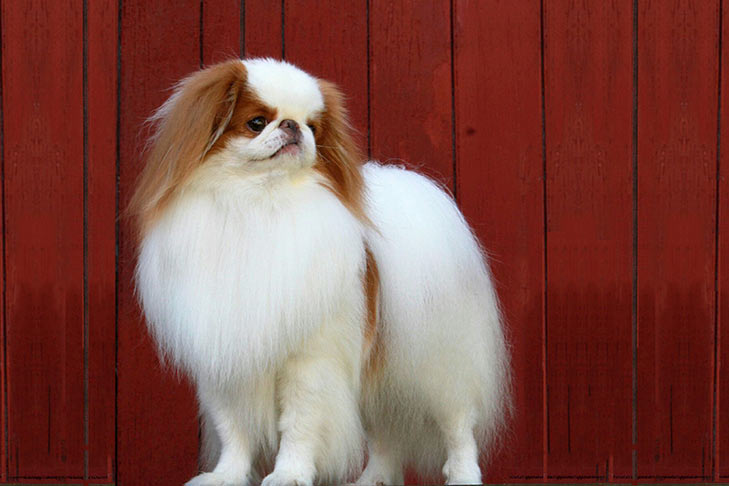 Japanese Chin standing in three-quarter view