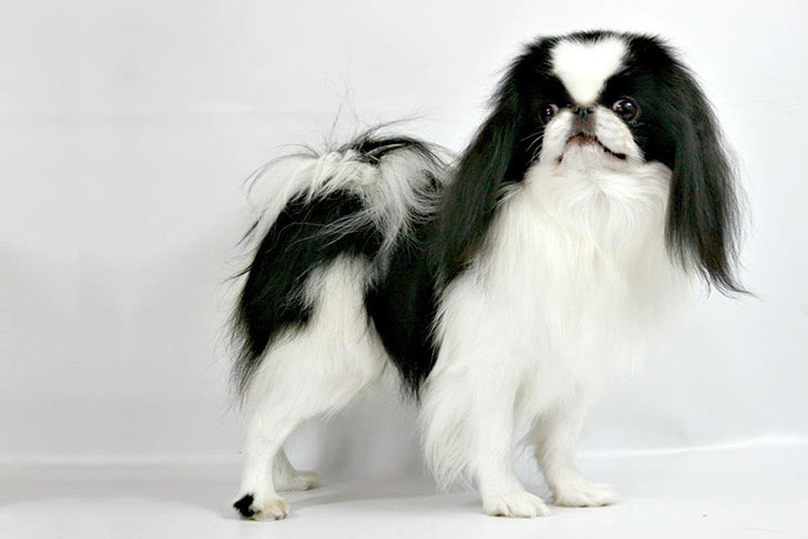 Japanese Chin Dog Breed Information