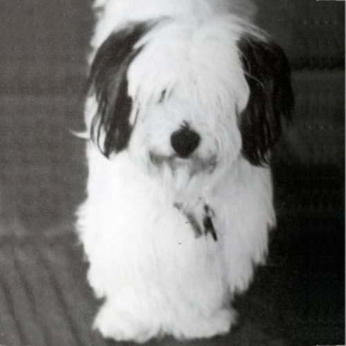 Dog Breeds Coton De Tulear History
