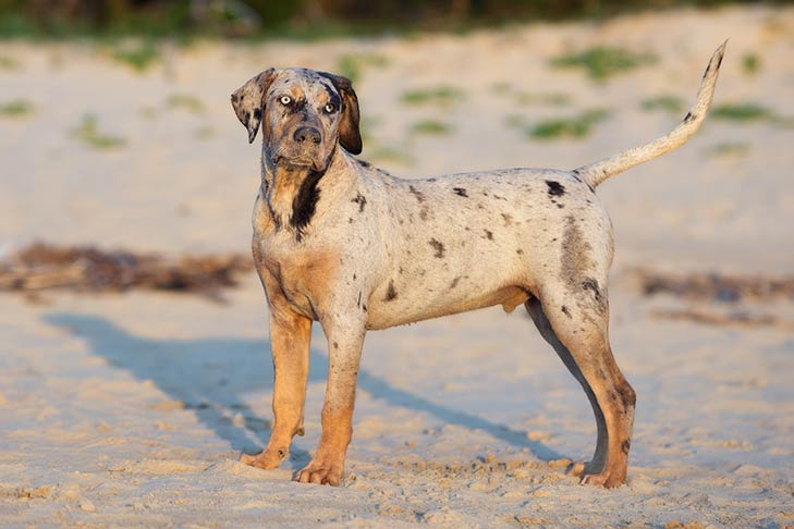 Medium And Large Dog Breeds