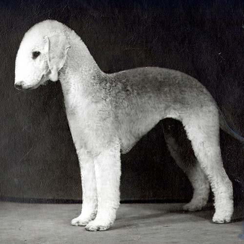 Bedlington Terrier Dog Breed Information