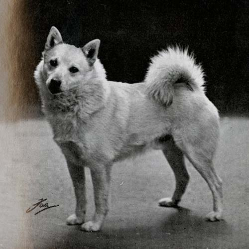Norwegian Buhund