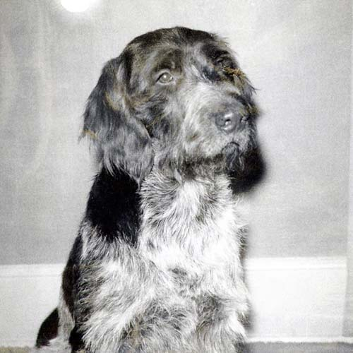 German Wire Haired Pointer