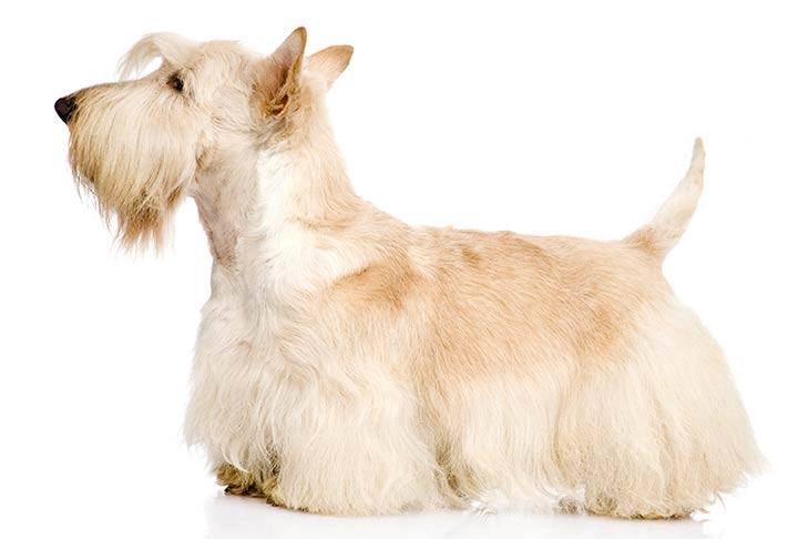 Scottish Terrier standing sideways facing left