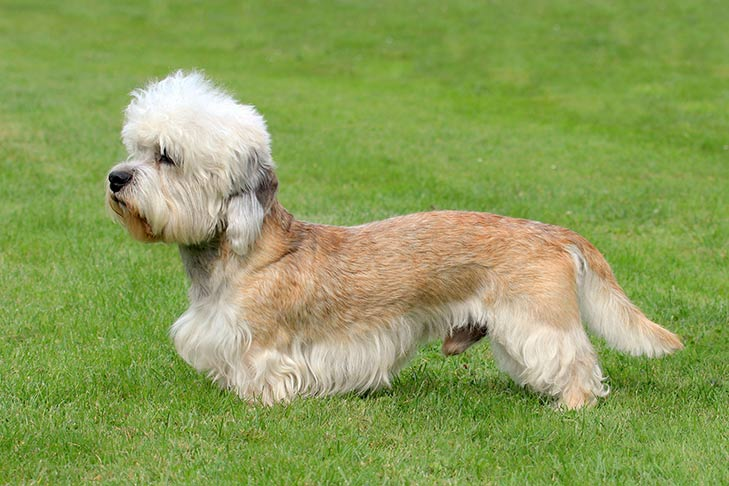 Dandie Dinmont Terrier standing sideways in grass facing left