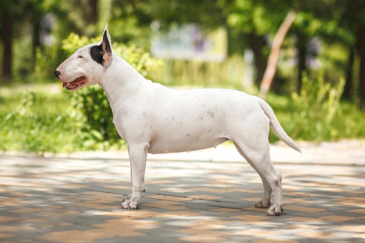 Bull Terrier on White