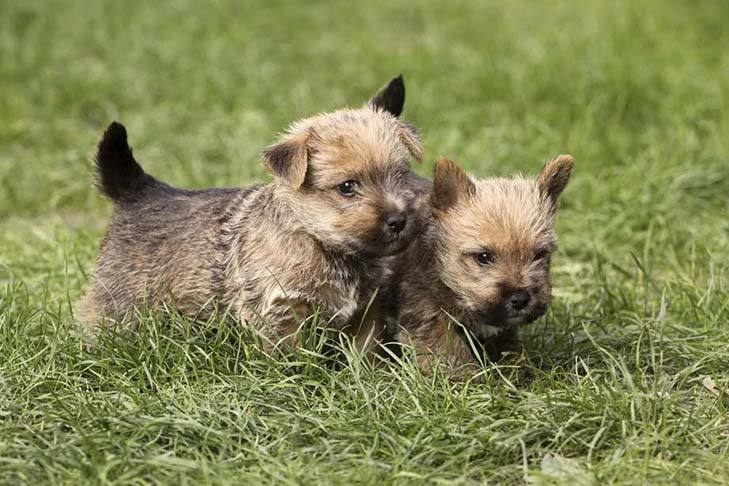 Norwich Terrier Dog Br...