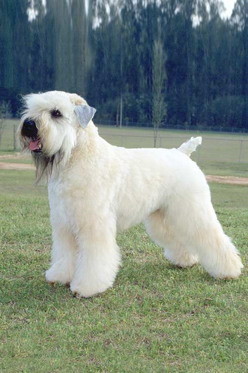 Soft Coated Wheaton Terrier Care