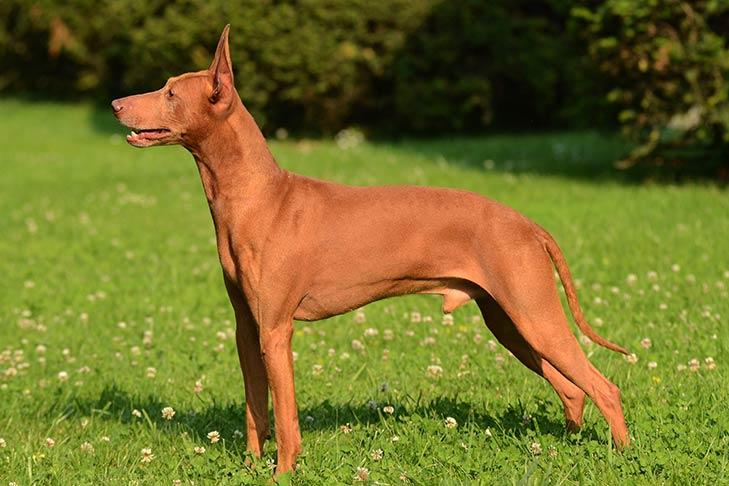 Cirneco DellEtna - first dog