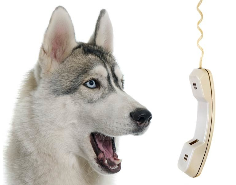 husky on the phone