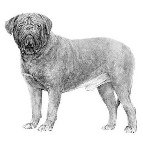 dogue de bordeaux illustration