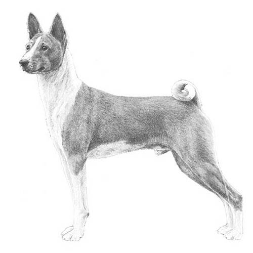 basenji illustration