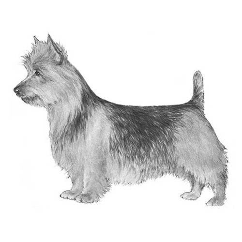 australian terrier illustration