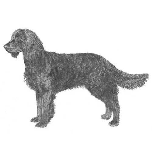 american water spaniel illustration