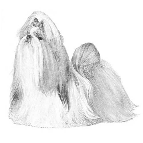 shih tzu illustration