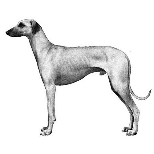 sloughi illustration