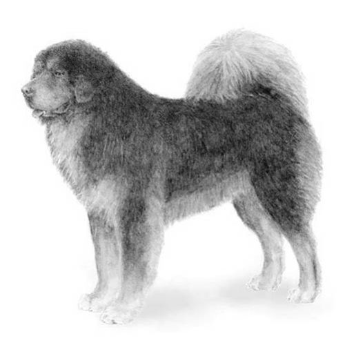 tibetan mastiff illustration