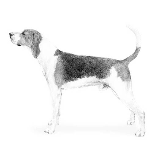 treeing walker coonhound illustration