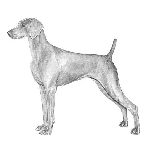 weimaraner illustration