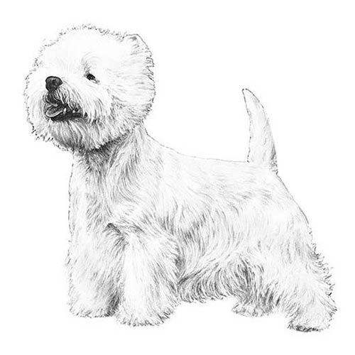 west highland white terrier illustration