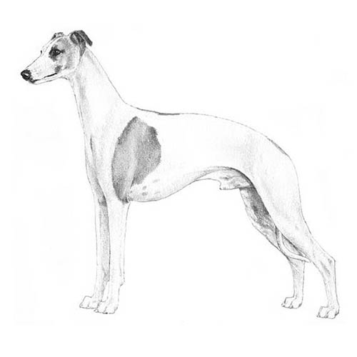 whippet illustration