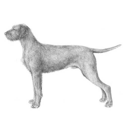 wirehaired vizsla illustration