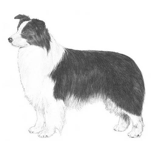 border collie illustration