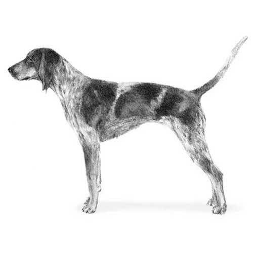 bluetick coonhound illustration