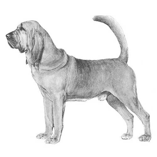 bloodhound illustration