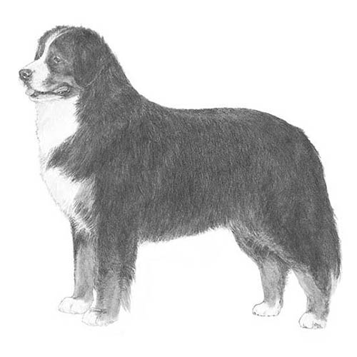 bernese mountain dog illustration