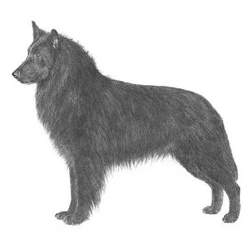 belgian sheepdog illustration