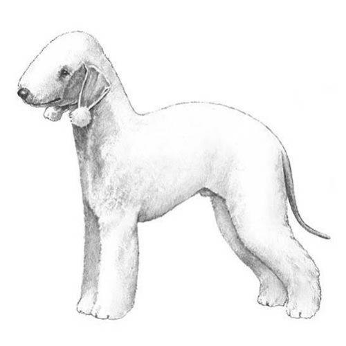 bedlington terrier illustration
