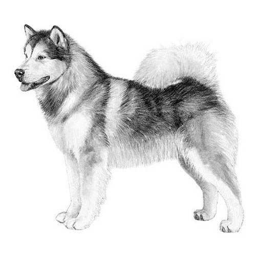 Alaskan Malamute Dog Breed Information