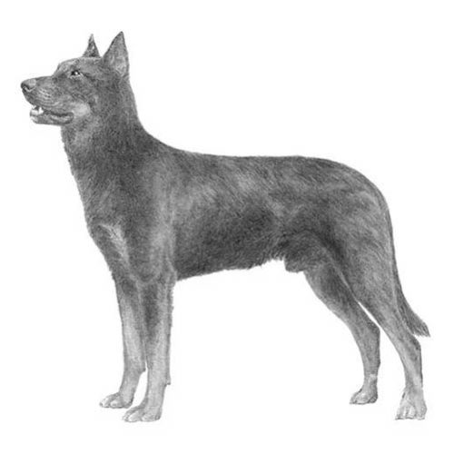 beauceron illustration